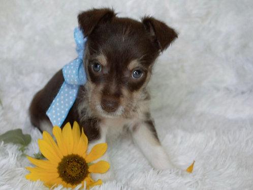 Charlie, mini Schnauzer/ rat terrier mix
