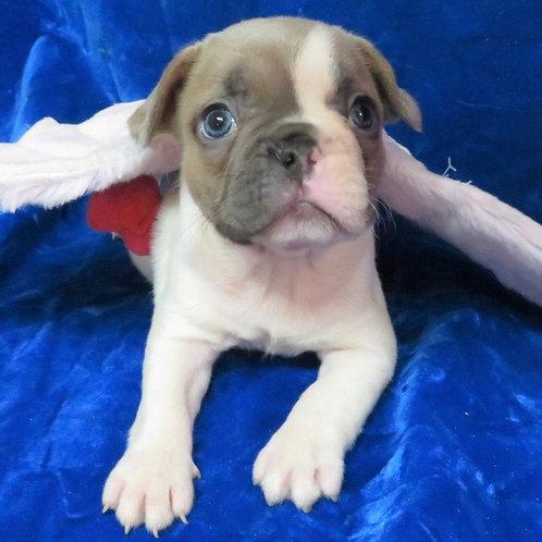 Sheila, French bulldog