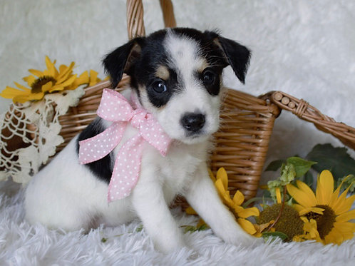 Ethel, mini Schnauzer/ rat terrier mix