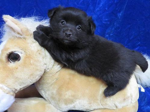 Teddy boy, poo-shi