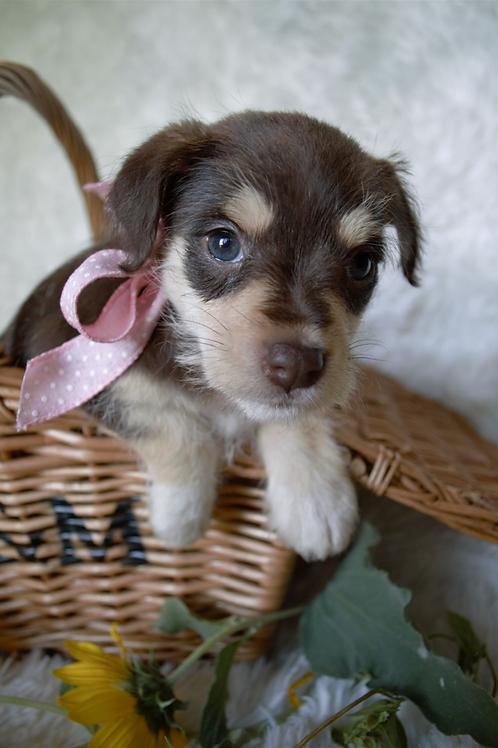 Hazel, mini Schnauzer/ rat terrier mix