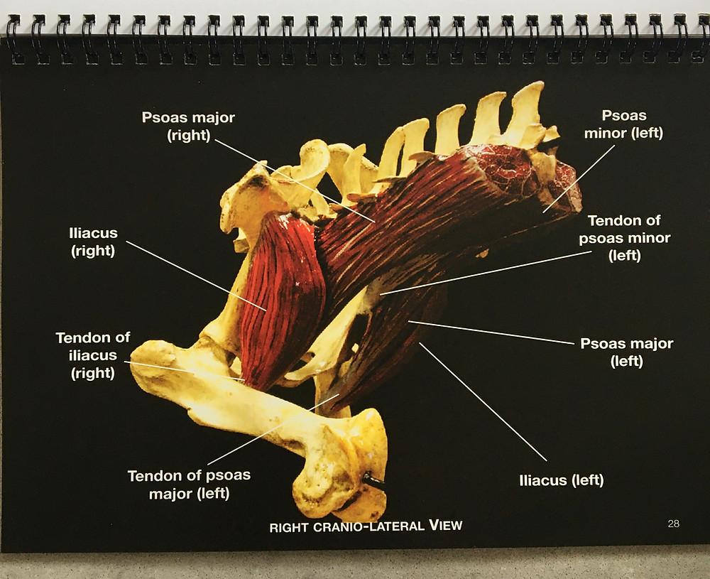 Horse, sacroiliac joints, ligaments, iliopsoas muscles, pelvic region, pelvic dysfunction, rehabilitation, injury femur, hip, lumbar vertebrae, ileum, pelvis, pelvic