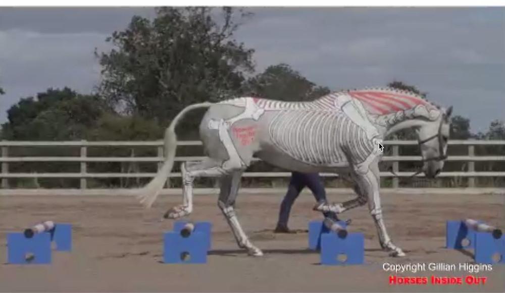 raised trot poles, anatomy, biomechanics, horse movement, locomotion, skeleton, joint movement, head and neck position,  outline