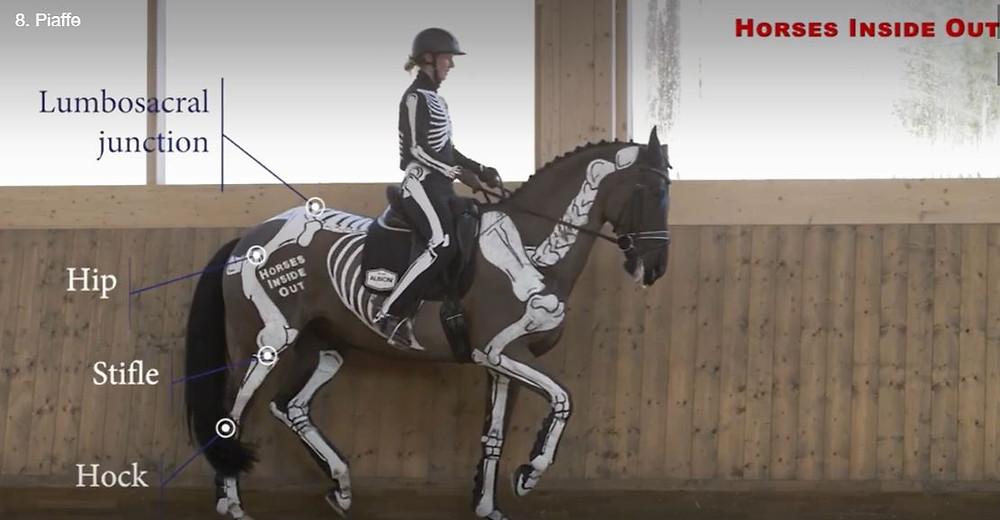 horse biomechanics, piaffe, hip, stifle, hock, lumbosacral junction
