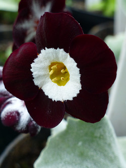 """Primula auricula """"Neat and Tidy"""""""