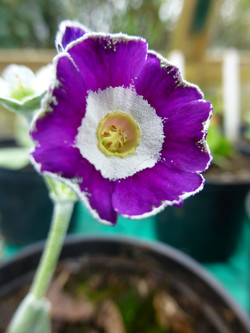 "Primula auricula ""Blue Chip"""
