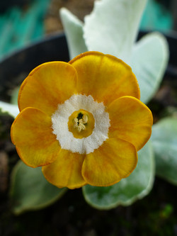 "Primula auricula ""Bright Ginger"""