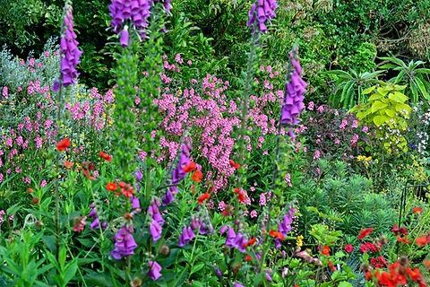 diascia personata and foxgloves.jpg