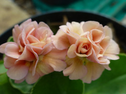 "Primula auricula ""Late Romantic"""