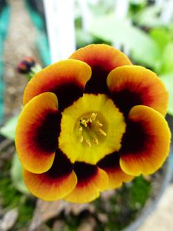 "Primula auricula ""Jaffa"""