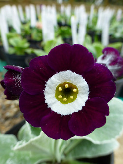 "Primula auricula ""Prince Bishops"""
