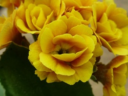 "Primula auricula ""Golden Chartreuse"""