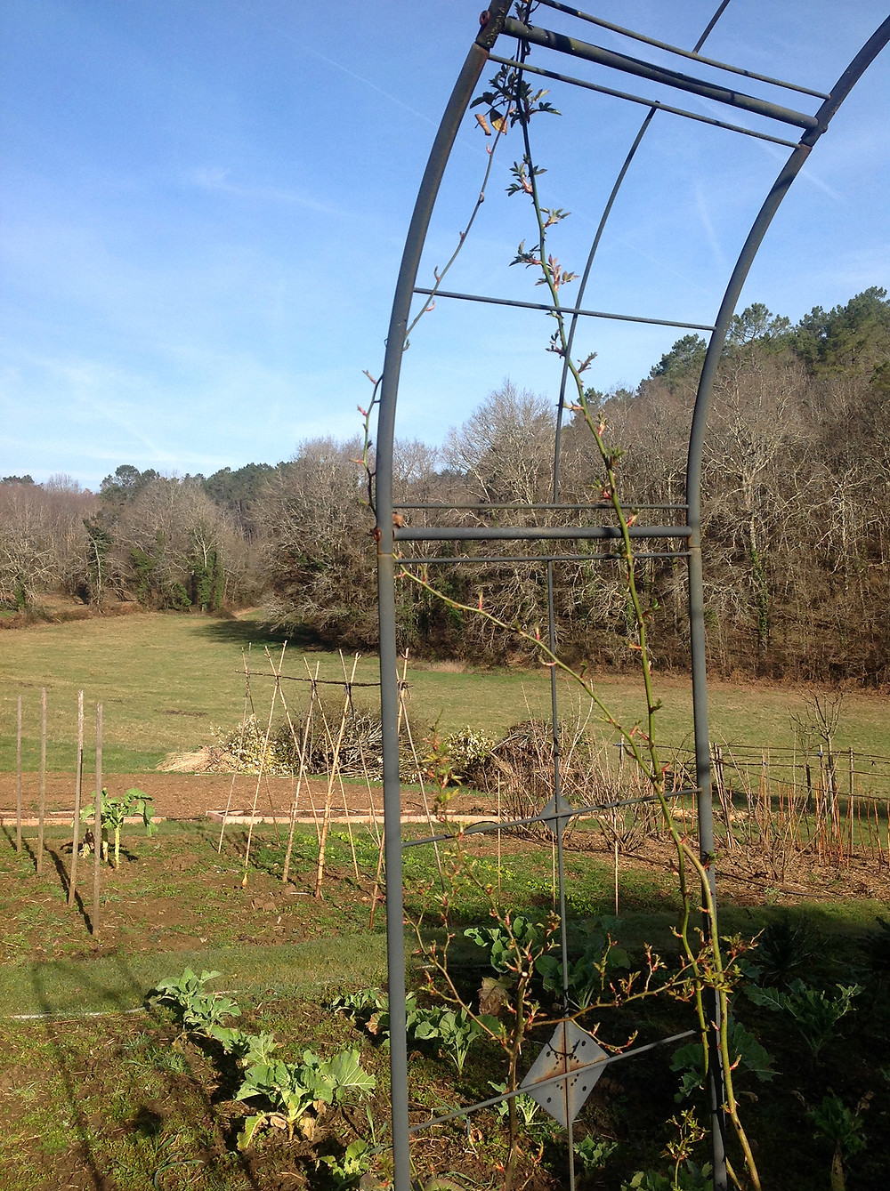 8. The rose arbours in the potager are springing to life.jpg