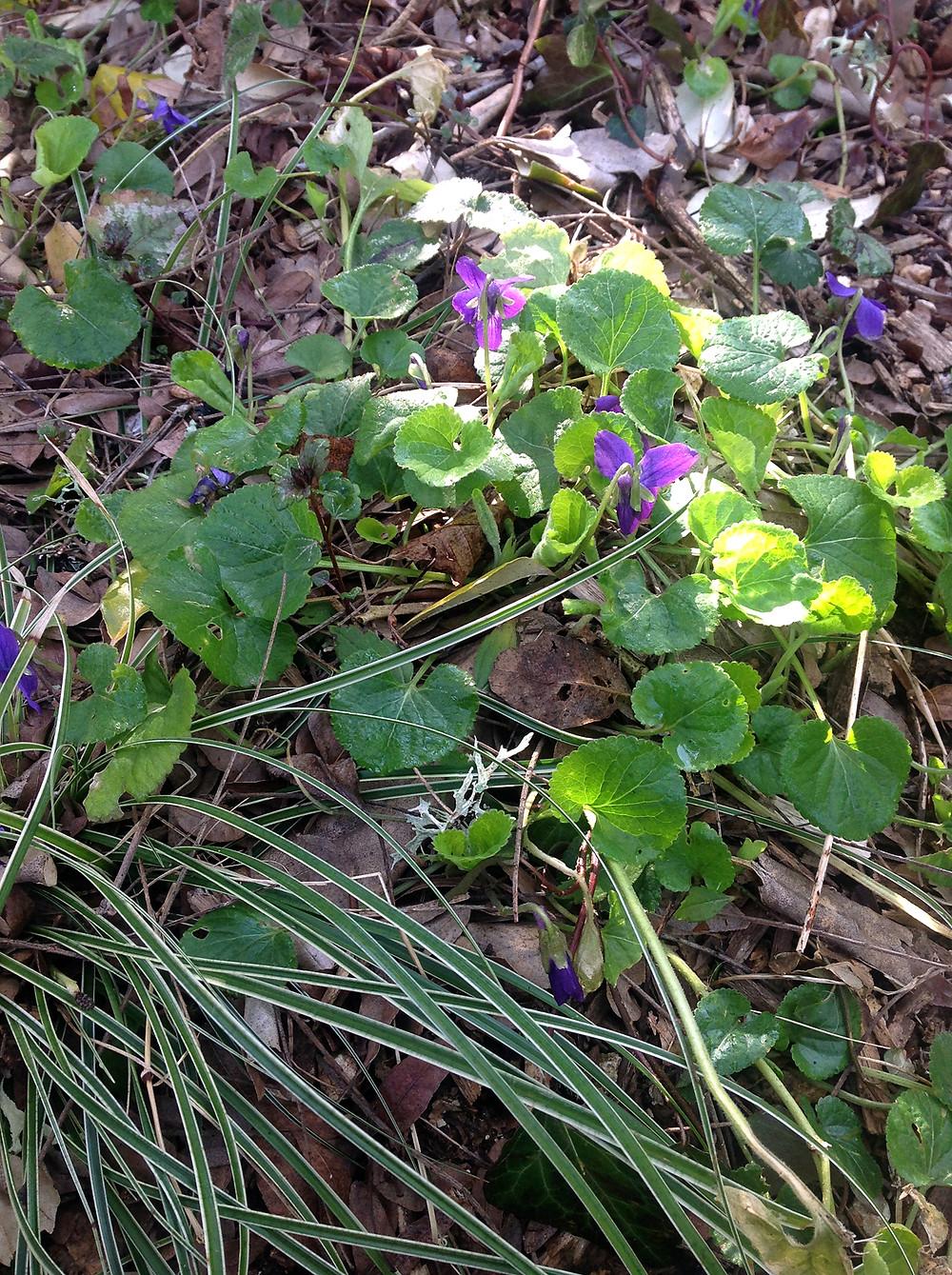 3c Violets.jpg