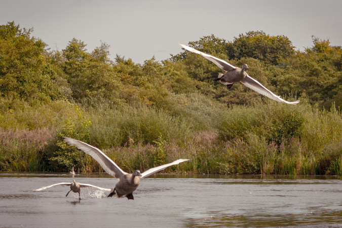 swans4stagesofflight.jpg