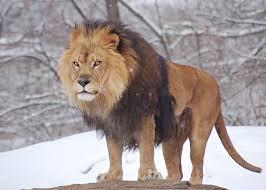 lion alone.jpg