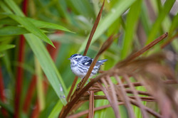 Black-and-white Warbler, The Retreat National Park, New Providence, Bahamas.