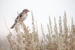 Lark's Sparrow.