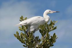 Great Egret, Bahamas.