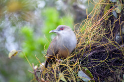 Great Lizard-Cuckoo in the Blue Holes National Forest, Andros, Bahamas.