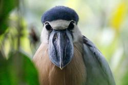 Boat-billed Heron, Belize.