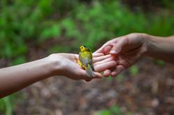 Wilson's Warbler, The Biggest Week in American Birding, Ohio.
