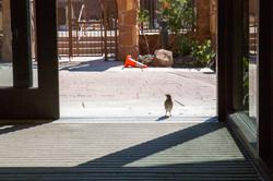 Baby American Robin, Audubon Convention, Utah