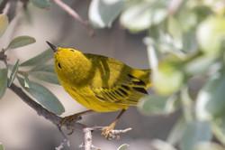 Yellow Warbler, Bahamas.