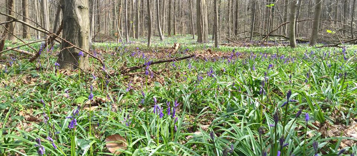 Hallerbos - The Blue Forest