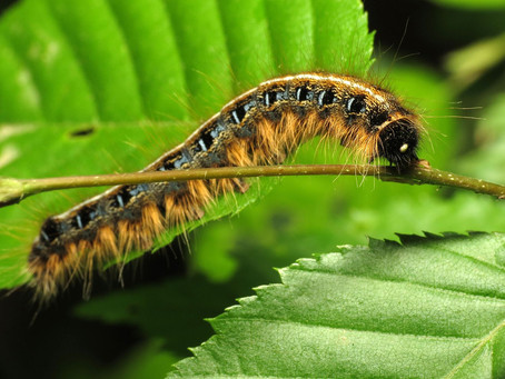 Help Your Trees Recover From Gypsy Moth