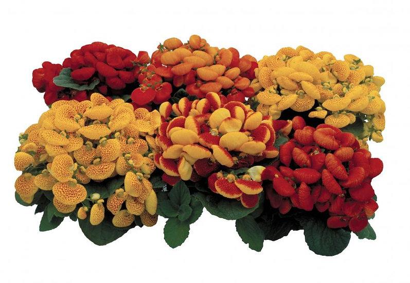 Calceolaria Dainty