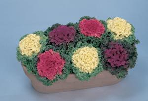 Brassica Nagoya