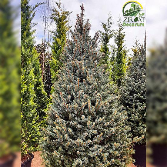 Ель Голубая 250 см / Picea Pungens Extra