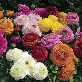 Ranunculus Magic
