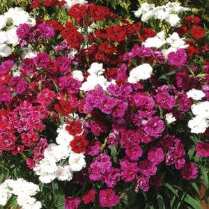 Dianthus Dynasty