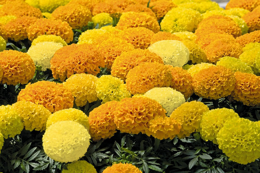 Tagetes Discovery