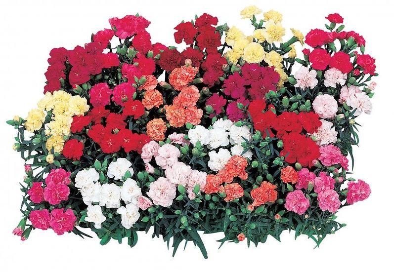 Dianthus Lillipot
