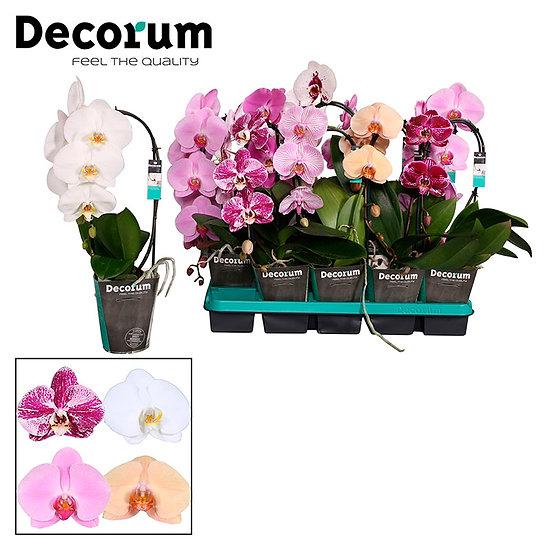 Орхидея каскадная - Phalaenopsis cascade