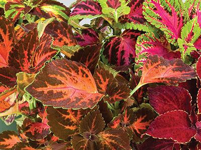 Coleus Superfine Rainbow