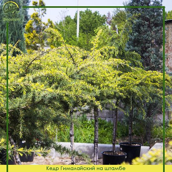 Кедр гималайский на штамбе 125 см /  CEDRUS DEOD. GOLDEN HORIZON