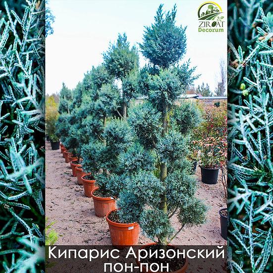 Кипарис аризонский пон-пон 200см / CUPRESSUS ARIZONICA FASTIGIATA PON-PON