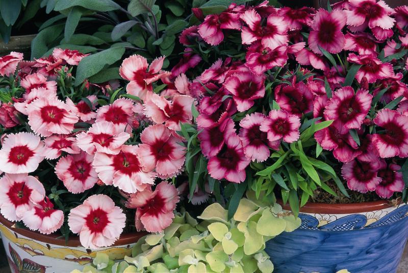 Dianthus Super Parfait