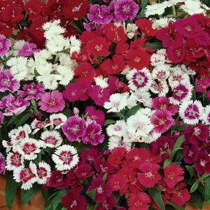 Dianthus Ideal Select