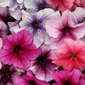 Petunia Prism
