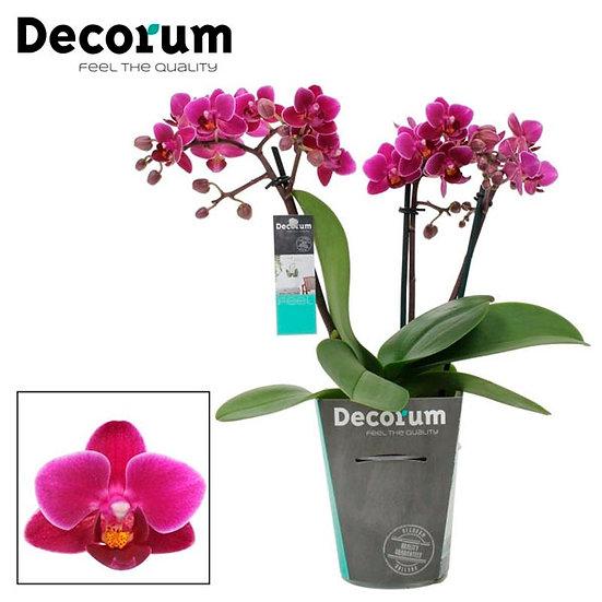 Орхидея мини - Phalaenopsis