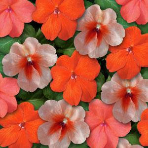 Impatiens Super Elfin