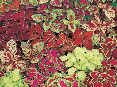 Coleus Fairway