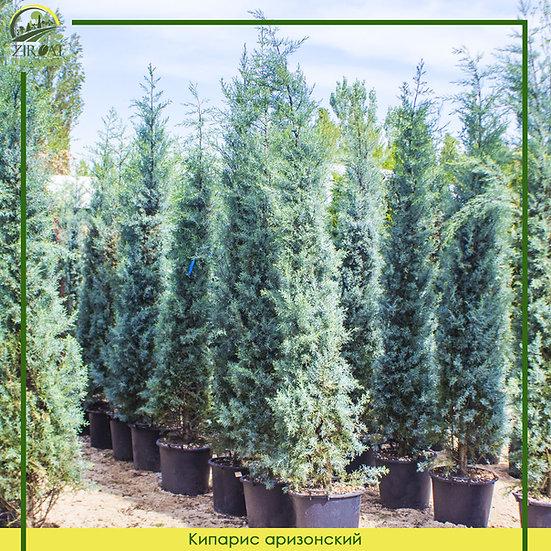 Кипарис аризонский 250 см / CUPRESSUS ARIZONICA FASTIGIAT