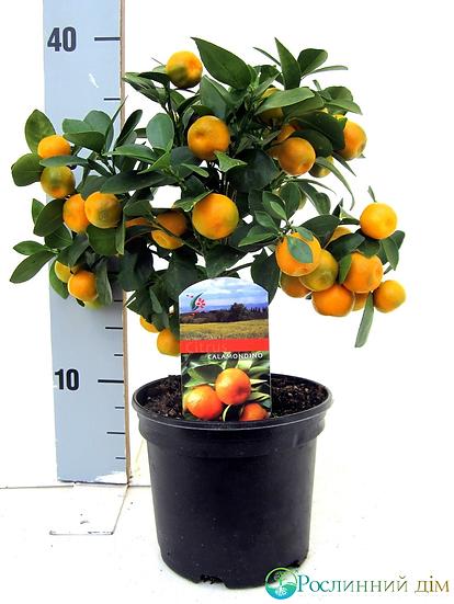 Каламондин (Декоративно-карликовый мандарин)