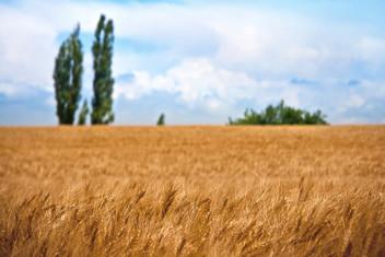 wheat-field-1205618_1920.jpg